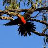 King Parrot (juvenile male)