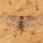 Lustrous Least Carpet Moth