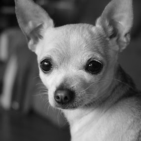 Little cutie by Kimmarie Martinez - Black & White Animals ( pet, sophia, puppy, cute, dog, chihuahua, , black and white, animal )