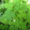 Redwood woodsorrel