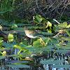 Purple Gallinule - Juvenile