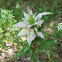 Horsemint, Spotted Bee Balm