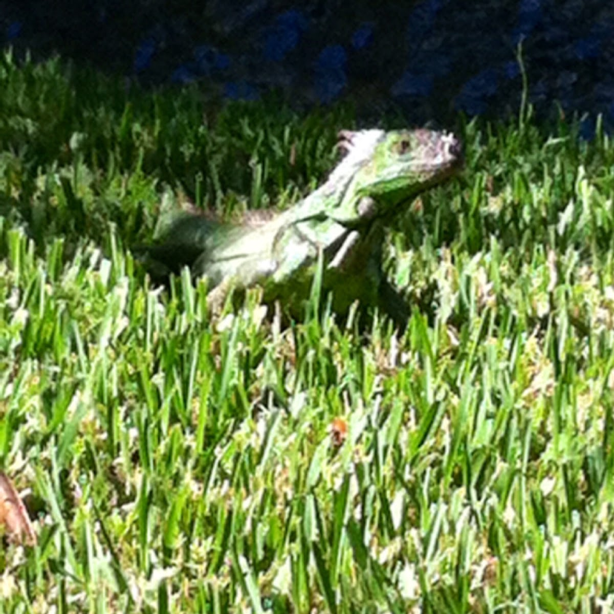 Great green iguana