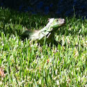 Great green iguana