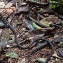 Seychelles wolf snake