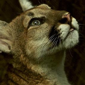 Wild Cat by Jack Goras - Animals Lions, Tigers & Big Cats ( wild, cat, nature, zoo, nature up close,  )