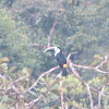 White-fronted Toucan