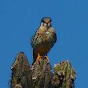 Falcon Comun, American kestrel