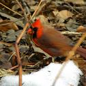 Cardinal, Male, Juvenile