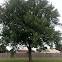 Silver Maple Tree