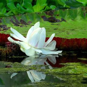 large Amazonian water lily .. by Dubravka Bednaršek - Flowers Flower Gardens (  )