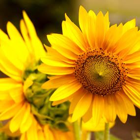 by Dominick Bianco - Flowers Flower Gardens ( , summer, sunflowers, flowers, yellow, garden, seeds )