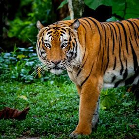The Malayan tiger (Panthera tigris jacksoni) by Zam Foto - Animals Lions, Tigers & Big Cats ( endanger, carnivore, tiger, zoo, wildlife, animal,  )