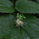 Miyama cherry Sprout