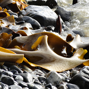 Kelp washed ashore by Marion Metz - Nature Up Close Other Natural Objects ( nature, kelp, seaweed, sea, ocean, stones )