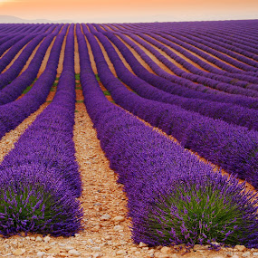 Lavender field, Valensole  by Tomas Vocelka - Landscapes Prairies, Meadows & Fields ( smell, provence, field, fragrance, sunset, violet, summer, tourism, geomtery, lavender, valensole, rows,  )