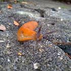 Red slug