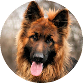 German Shepherd Wallpaper 2015