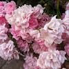 "Rosa ""Tea Fairy"""