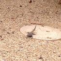 Western whiptail lizard (?)
