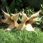 Starfish Cactus