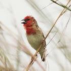 Cardinal Quelea