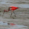 Scarlet Ibis (Juvenile)