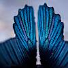 Great Mormon  Papilio memnon