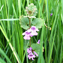 Creeping Charlie, Gill Over the Ground, Ground Ivy
