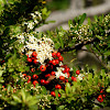 Pyracantha berries and blossoms