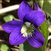 Three Lobed violet