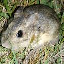 Rata Conejo - Coney Rat