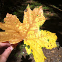 Broadleaf or Bigleaf maple