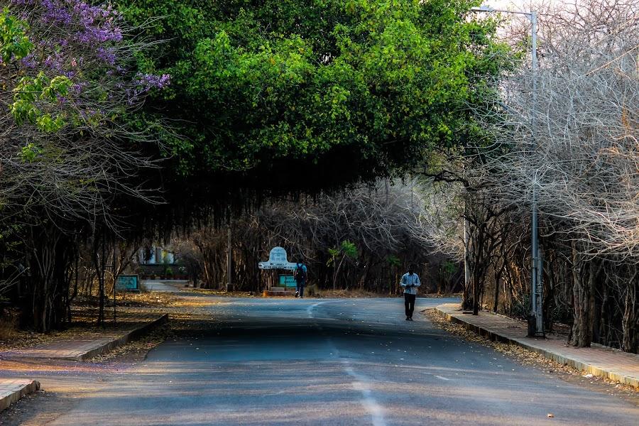 The Lonely Shadow by Neel Gengje - City,  Street & Park  Street Scenes ( university, green, shadow, trees, lonely, roads )