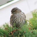 Sharp-shinned Hawk -juvenile