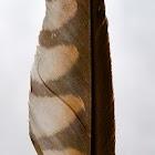 American kestrel (female)