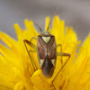 Bug lygus. Chinche