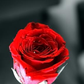 by Ganesh LK - Flowers Single Flower