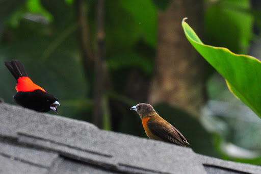 A Cherrie's Tanager having a chat with a neighbor near Quepos in Costa Rica.