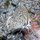 Common Zebra Blue Butterfly