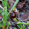 Mirror bee-orchid