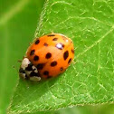 Multicolored Lady Asian Beetle