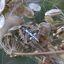 Orb weaver spider - ragno crociato