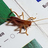 Carolina Leaf Rolling Cricket