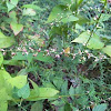 Virginia Knotweed
