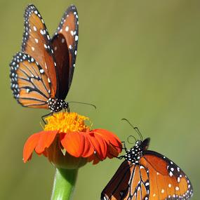 Butterflies by Dawn Hoehn Hagler - Animals Insects & Spiders ( orange butterfly, orange, orange flower, butterflies, insect, tucson botacnial gardens,  )