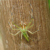 Long Jawed Jumping Spider