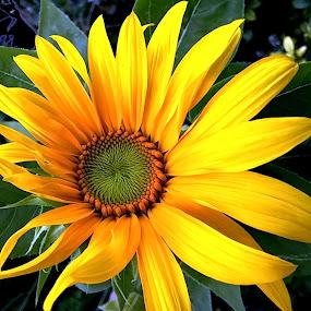 by Roxanne Dean - Flowers Single Flower ( yello flower, petals,  )