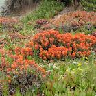 Monterey Indian Paintbrush