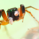 Colorful Jumping Spider